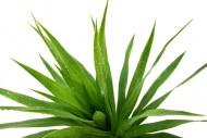 Aloes możemy rozmnażać z nasion lub przez tak zwane odnóżki.
