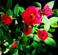 Róże. Fot. sxc.hu
